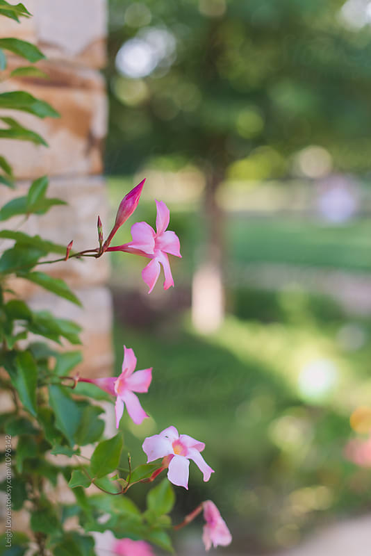 Pink Mandevillea Blooms with Blurred Tree in Background by Leigh Love for Stocksy United