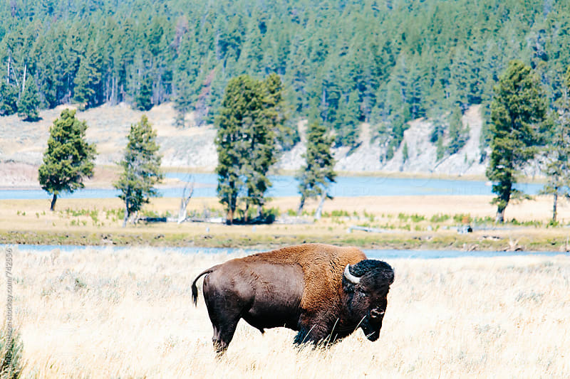 American Bison Standing In A Grassy Plain Near A River by Luke Mattson for Stocksy United