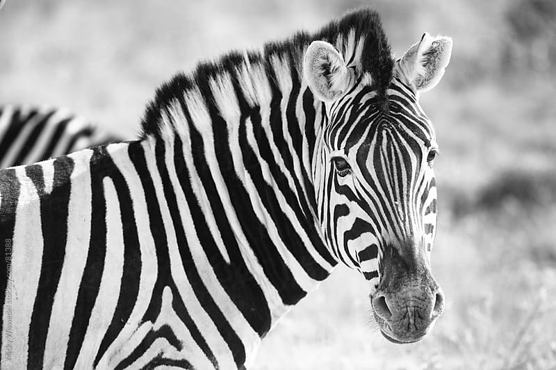 Wild African Zebra Portrait by Micky Wiswedel for Stocksy United