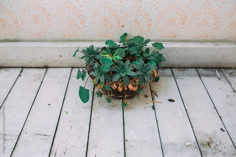 A plant on a white wooden floor by Maja Topcagic for Stocksy United