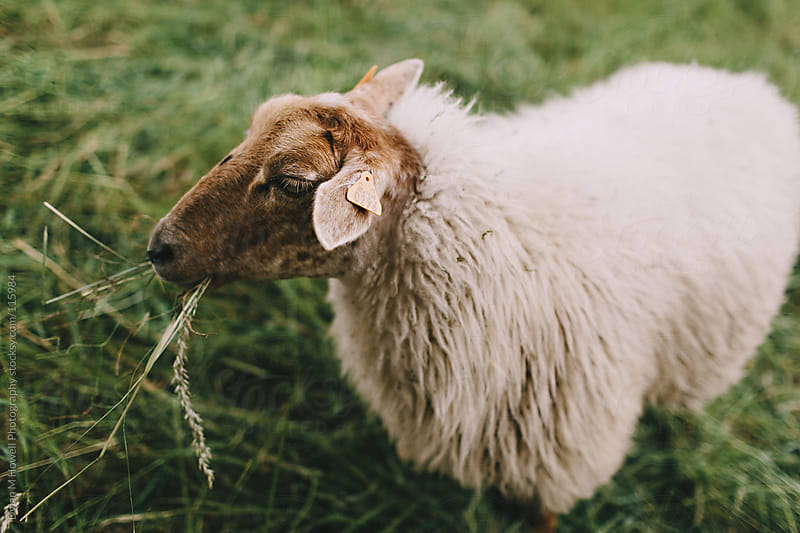 Sheep eating grass. by Dylan M Howell Photography for Stocksy United