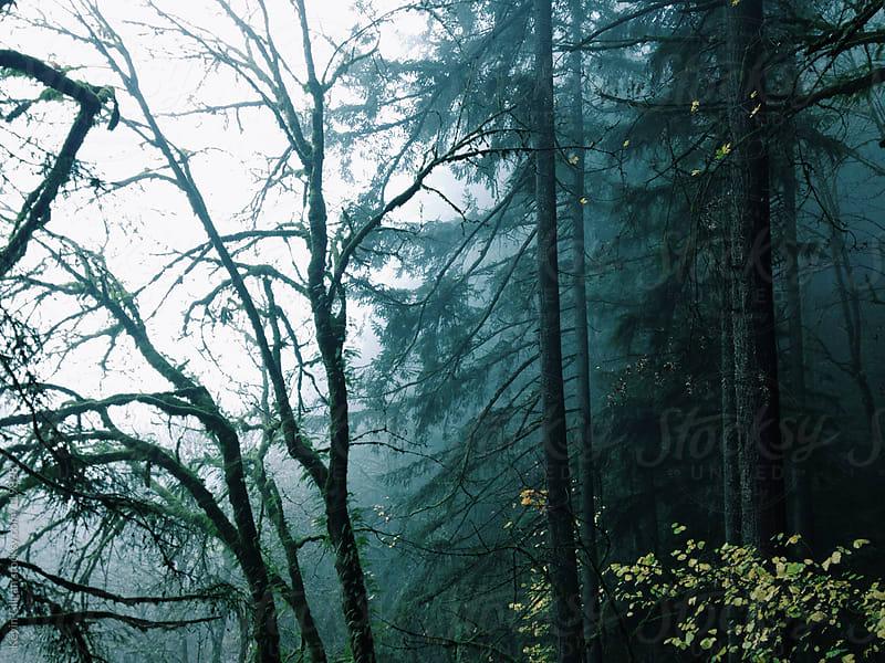 Dark Foggy Trees by Kevin Gilgan for Stocksy United