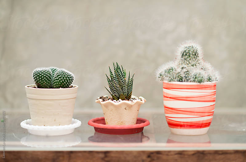 Potted cactus plants by Lawren Lu for Stocksy United