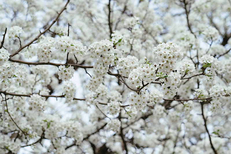 Cherry tree in full bloom in spring by Kerry Murphy for Stocksy United