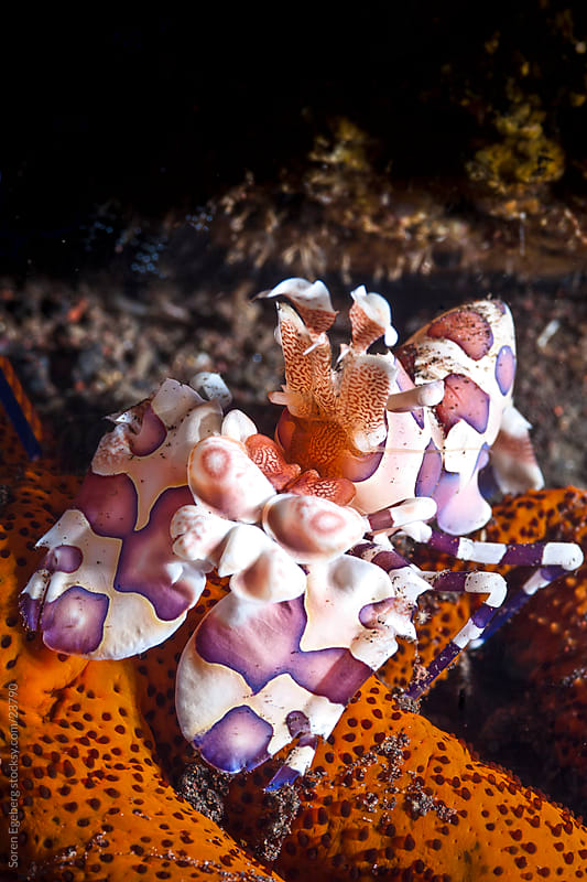 Harlequin Shrimps feeding on seastar on the coral reef  underwater in Thailand by Søren Egeberg Photography for Stocksy United