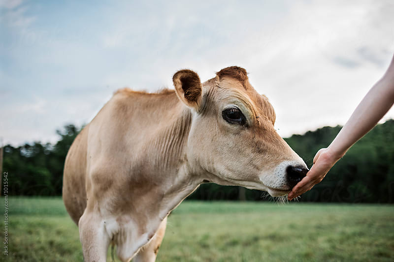 Cow Touching Woman's Hand by Jack Sorokin for Stocksy United