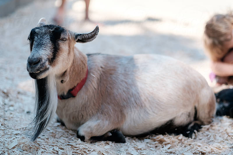 Cute Goat by Nick Walter for Stocksy United