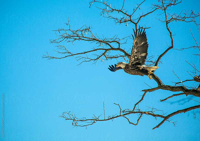 Bald Eagle on a limb by alan shapiro for Stocksy United
