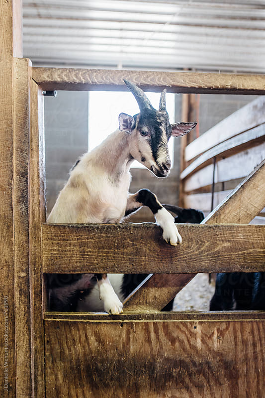 A goat standing at a gate begging for food. by J Danielle Wehunt for Stocksy United