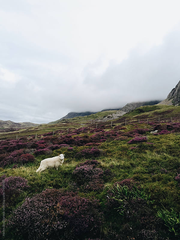 Heather and sheep on a misty welsh mountain by Helen Rushbrook for Stocksy United