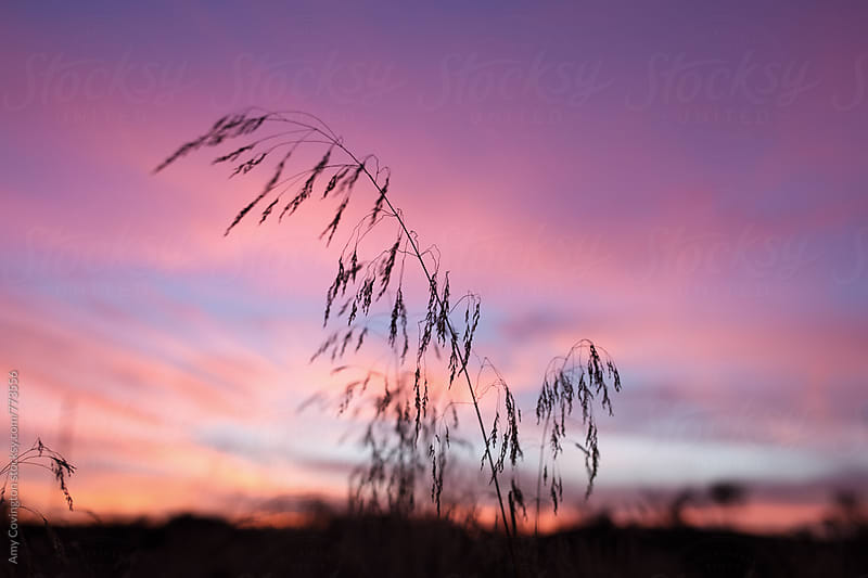 Silhouette of dry grass against a colorful sunset  by Amy Covington for Stocksy United