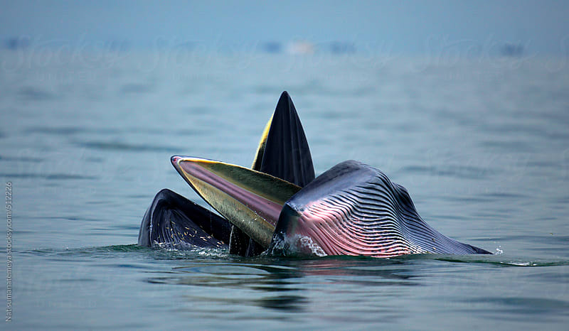 Mother and calf whale by Nat sumanatemeya for Stocksy United