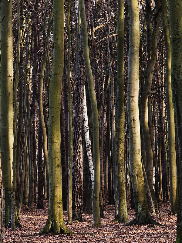 Birch tree in a forest of beech trees by Melanie Kintz for Stocksy United
