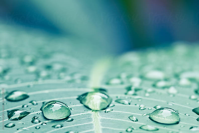 Macro of water drops on leaf by Kerry Murphy for Stocksy United