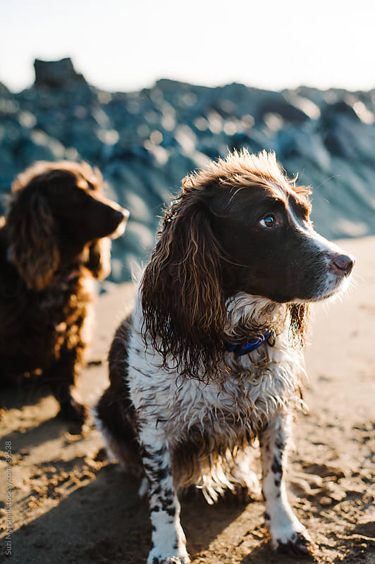 Two dogs sat on a sandy beach after swimming in the sea by Suzi Marshall for Stocksy United