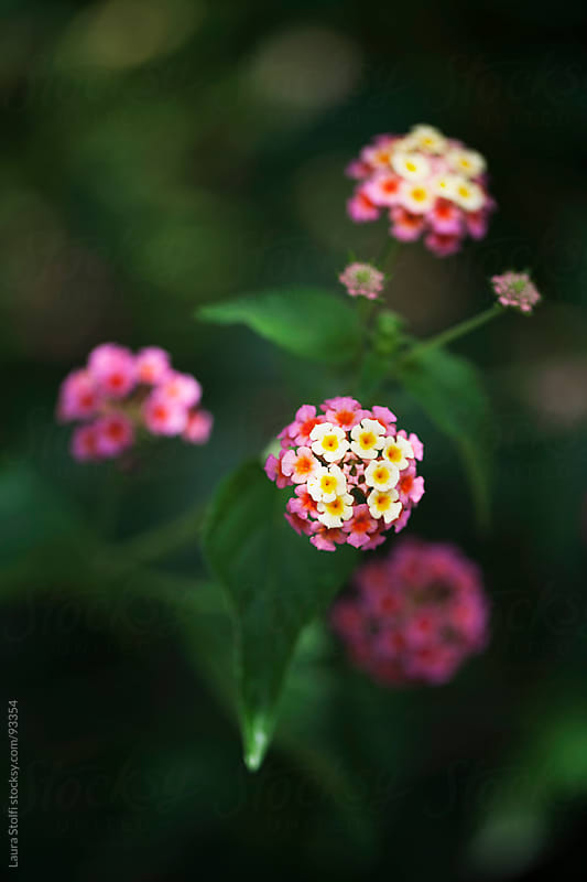 Bicolor pink and yellow lantana flowers and buds blossom on the shrub by Laura Stolfi for Stocksy United