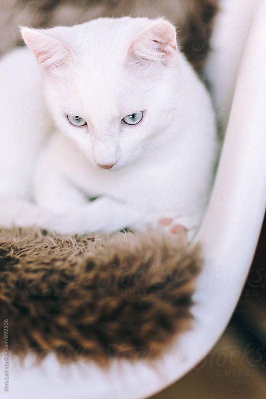 A beautiful white cat by Vera Lair for Stocksy United