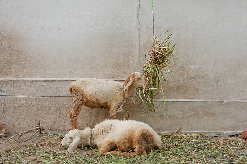Two sheep eating grass by Christine Hewitt for Stocksy United