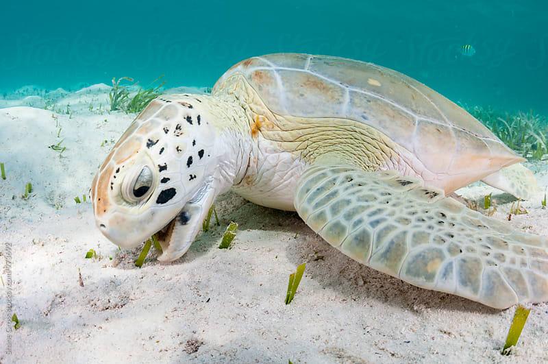 Green Turtle Feeding by Shane Gross for Stocksy United