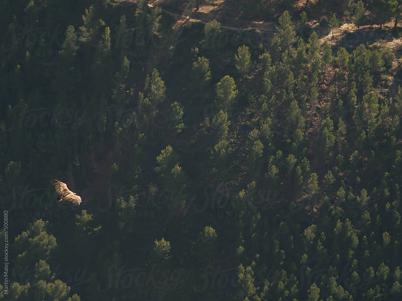Griffon Vulture flying in el chorro mountains by Martin Matej for Stocksy United