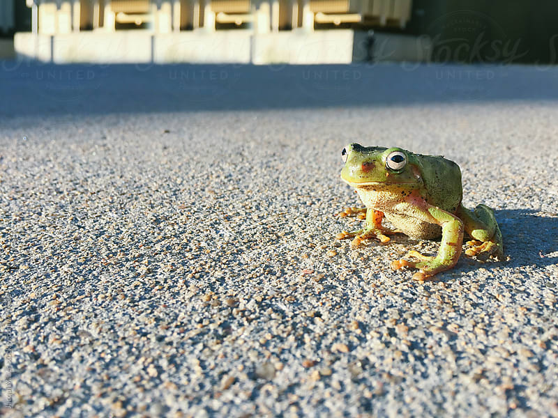 Green Tree Frog on road by Jacqui Miller for Stocksy United