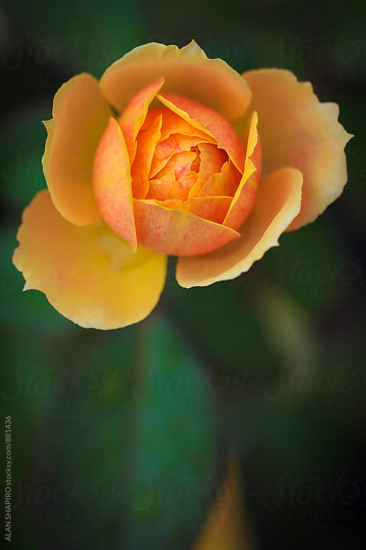 Orange Rose by alan shapiro for Stocksy United