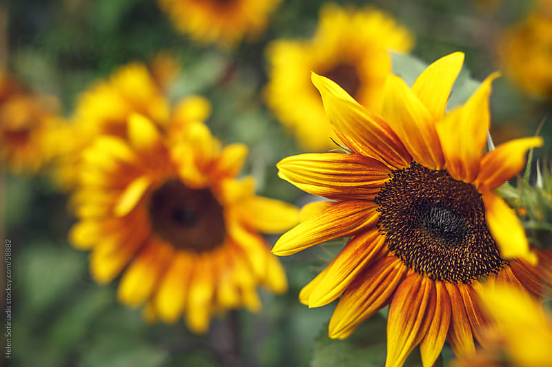 Sunflowers by Helen Sotiriadis for Stocksy United