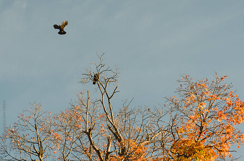 crows in an orange tree in autumn, one is flying by Deirdre Malfatto for Stocksy United