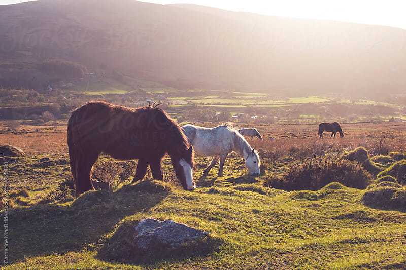 Wild horse grazing at sunset. by Catherine MacBride for Stocksy United