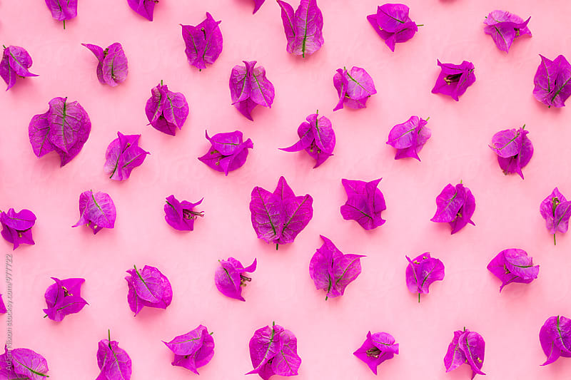 Purple bougainvillea on a pink background by Adam Nixon for Stocksy United