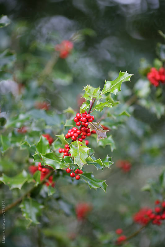 Common holly tree with red berries by Marcel for Stocksy United