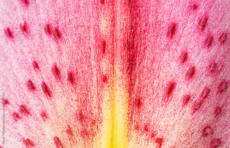 Oriental Lily petal detail, closeup by Mark Windom for Stocksy United
