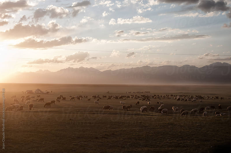 Flock of sheep in a pasture at sunset in Kyrgyzstan by Jean-Claude Manfredi for Stocksy United