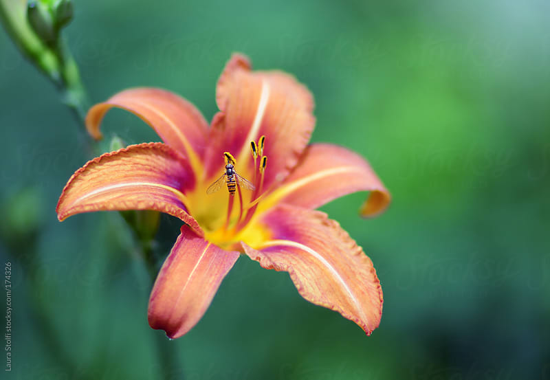 Bee on wild orange lily by Laura Stolfi for Stocksy United