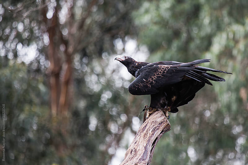 Australian Wedge-tailed Eagle by Rowena Naylor for Stocksy United