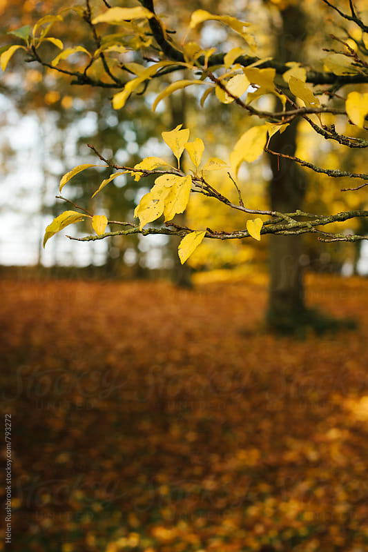 Autumn yellows by Helen Rushbrook for Stocksy United
