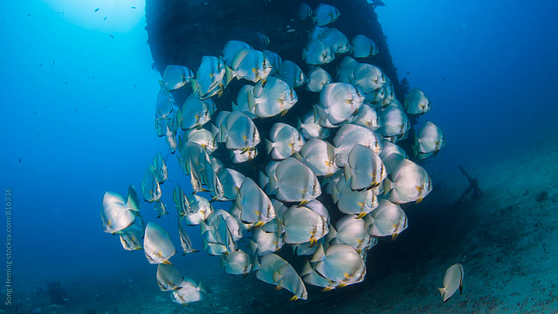 school of  bat fish by Song Heming for Stocksy United