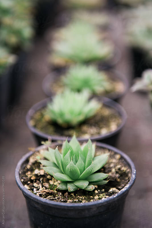Succulent plants in the greenhouse  by Adrian Cotiga for Stocksy United