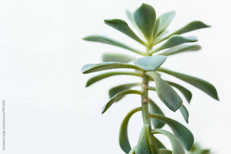 close up of succulent plant against white background by Amanda Large for Stocksy United