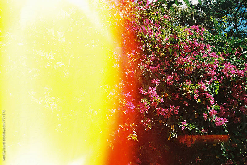 pink bougainvilla with light leak on film frame by wendy laurel for Stocksy United