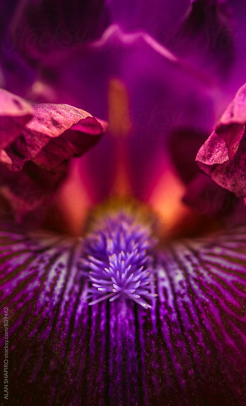 Iris macro by alan shapiro for Stocksy United