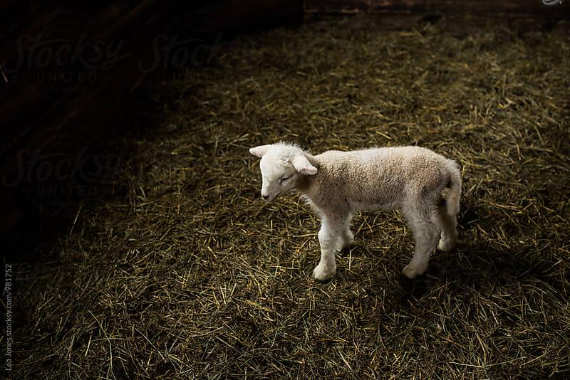little lamb by Léa Jones for Stocksy United