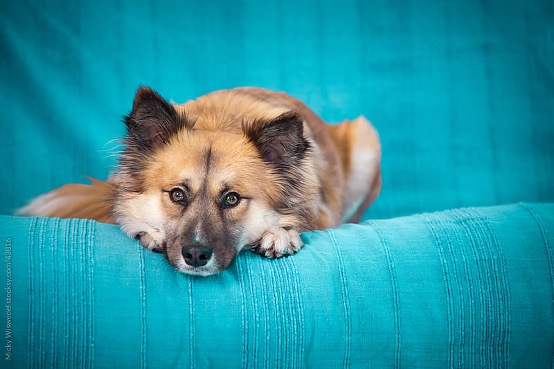 Cute Dog on a blue sofa by Micky Wiswedel for Stocksy United