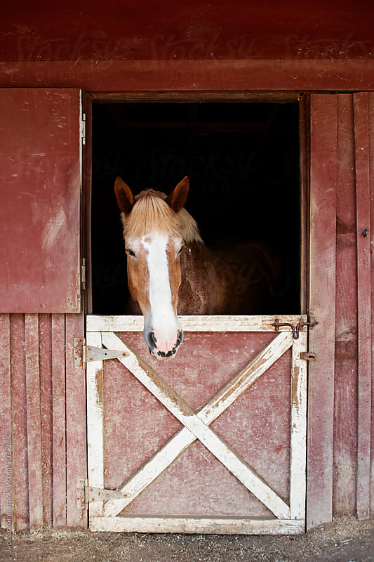 Horse In Red Barn by Jack Sorokin for Stocksy United