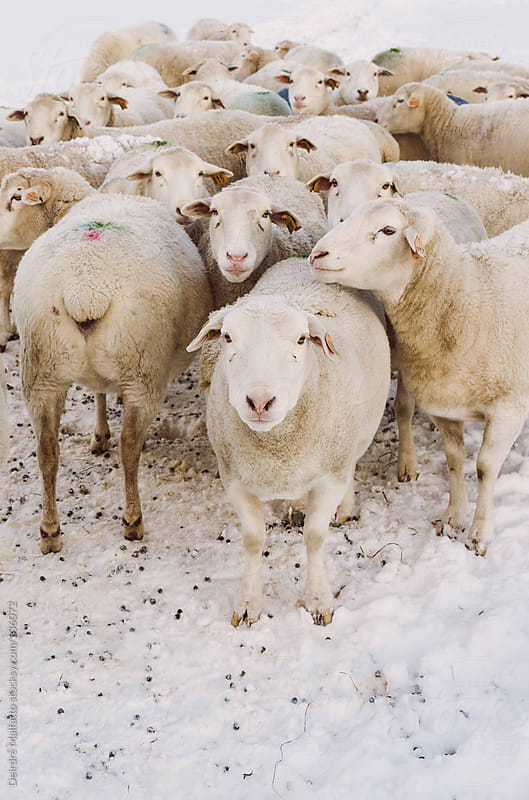 sheep huddled together in the snow by Deirdre Malfatto for Stocksy United