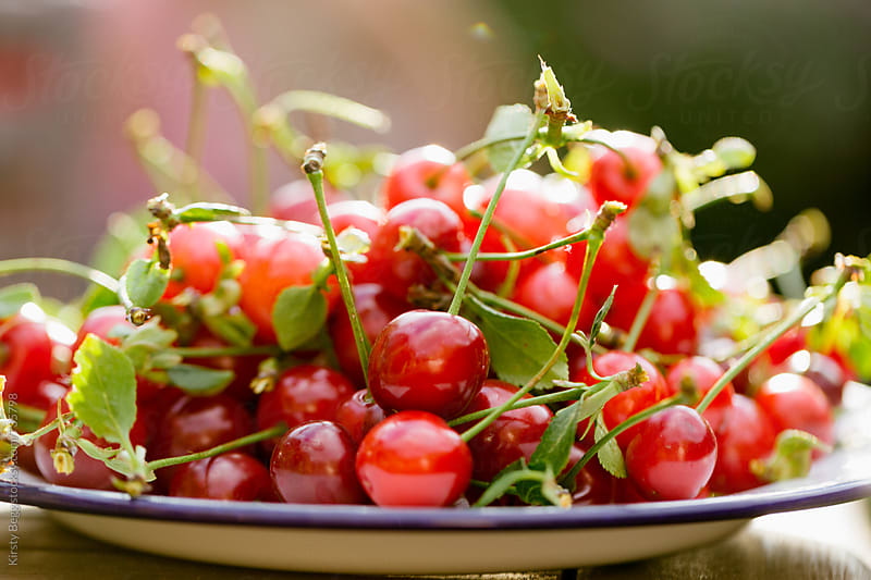Plate of freshly harvested Morello cherries with sunshine behind by Kirsty Begg for Stocksy United