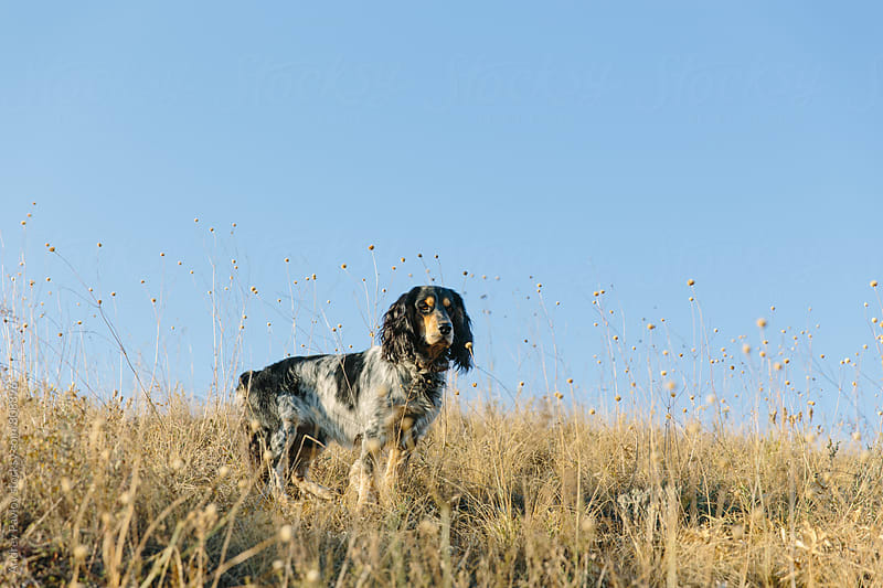 Photo of Cocker Spaniel standing in field by Andrey Pavlov for Stocksy United