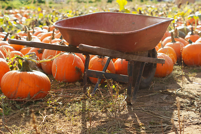 A wheelbarrow sits in a pumpkin patch by Tana Teel for Stocksy United