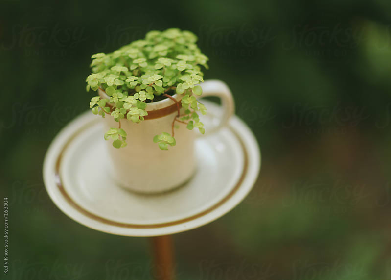 teacup garden by Kelly Knox for Stocksy United