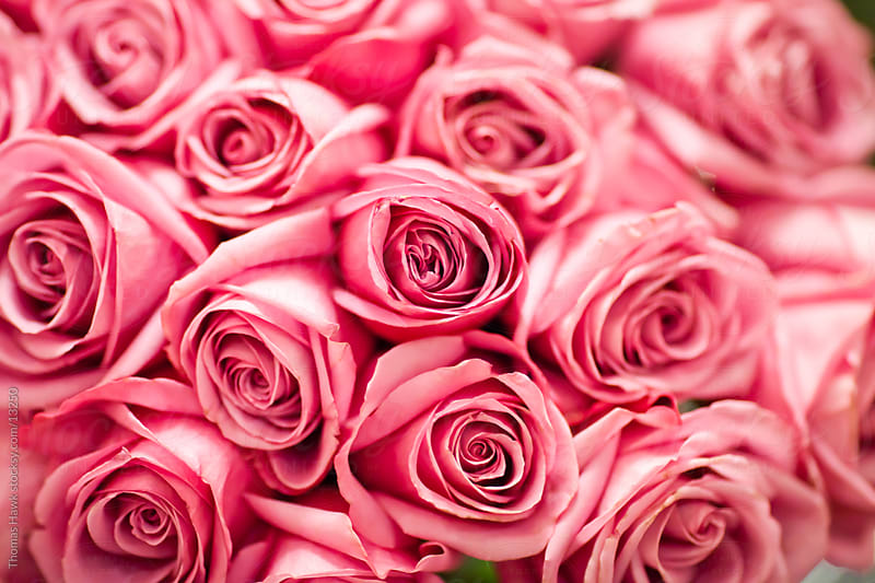 Pink Roses by Thomas Hawk for Stocksy United